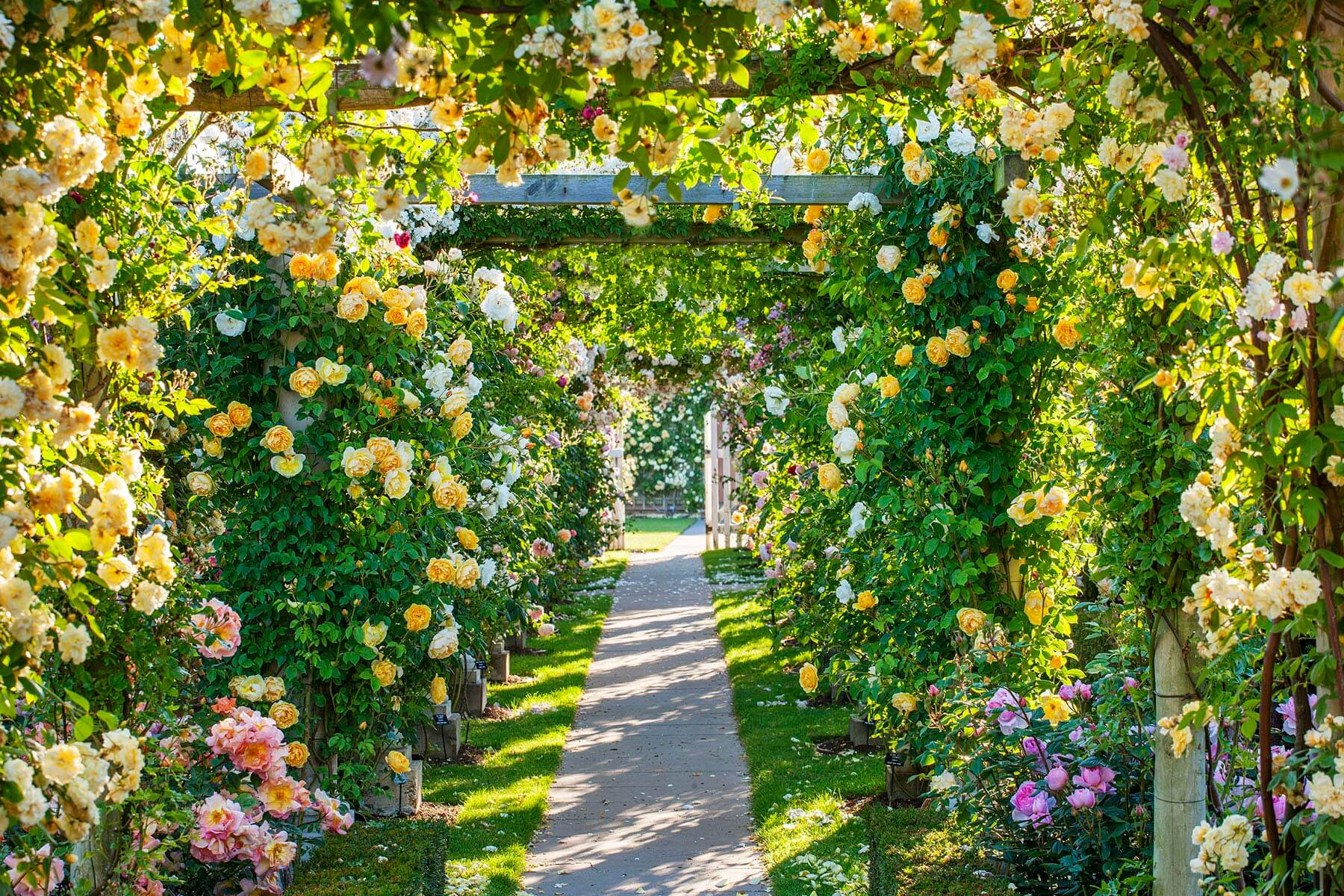 ALBRIGHTON, AUSTIN, CLIMBING, DAVID, FLOWERS, FORMAL, FRAGRANT, GARDEN, JUNE, MIDLANDS, PATH, PERGOLA, PROFUSION, ROSA, ROSE, ROSES, SCENT, SCENTED, SUMMER, TRACK, WALKWAY, WEST