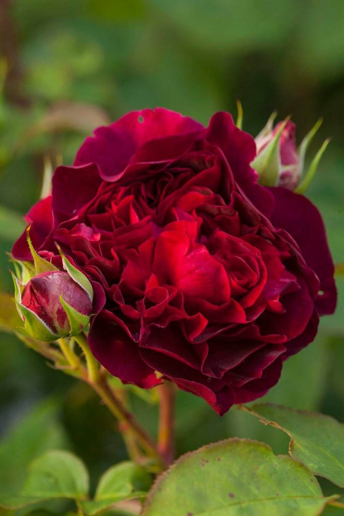 AUSDECORUM, AUSTIN, BUSSELL, CHALK, CLAY, CLOSE, DARCEY, DARK, DAVID, FLOWER, FLOWERS, FRAGRANT, GARDEN, HERB, JUNE, PETALS, PLANT, PORTRAIT, RED, RHS, ROSA, ROSE, SHRUB, SUMMER, SURREY, THORN, THORNY, UP, WISLEY
